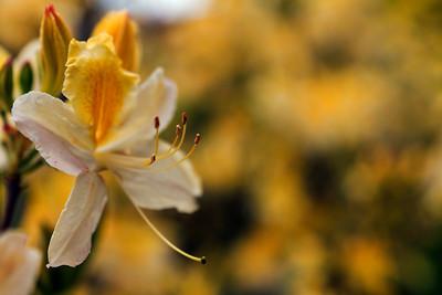 Rhododendron Park – Alppiruusupuisto #10