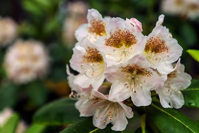 Rhododendron Park – Alppiruusupuisto #9