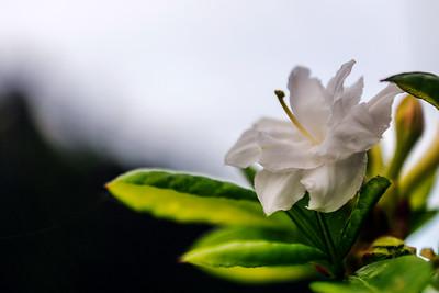 Rhododendron Park – Alppiruusupuisto #2