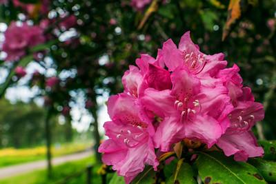 Rhododendron Park – Alppiruusupuisto #41