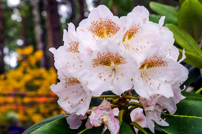 Rhododendron Park – Alppiruusupuisto #44