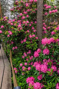 Rhododendron Park – Alppiruusupuisto #17
