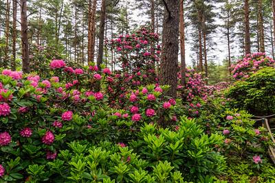 Rhododendron Park – Alppiruusupuisto #24