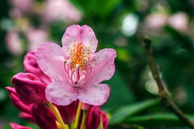 Rhododendron Park – Alppiruusupuisto #20
