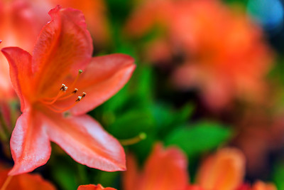 Rhododendron Park – Alppiruusupuisto #8