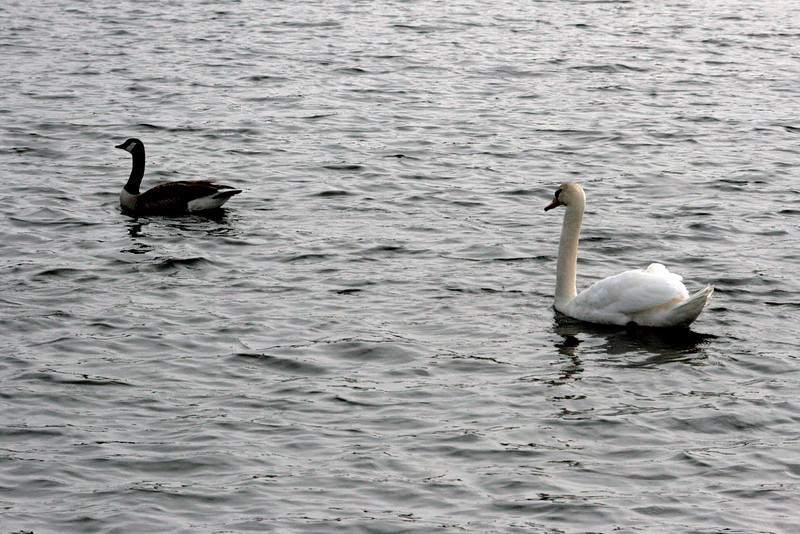 Geese and swans co-exist.