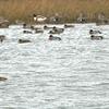 Wigeon, (LHS) Brent Geese (RHS) Shelduck + various waders on shoreline