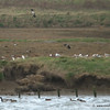 Lapwings in Flight, note Peregrine in grass behind gulls over 2nd post from RHS