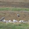 Peregrin in grass behind Gulls