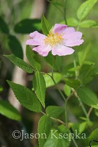 Rosa setigera, climbing prairie rose; Floyd County, Georgia 2016-05-30   5