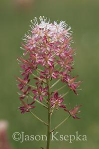 Stenanthium densum, Osceola's Plume (Crow Poison); Liberty County, Florida  2013-05-25  #3