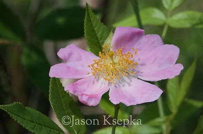 Rosaceae (Roses and allies)