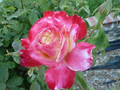 roses and random photos