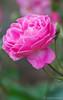 Birdie Blye (Hybrid Multiflora) - Colonial Park Somerset, NJ