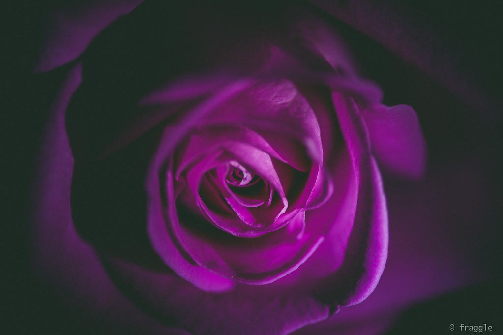 rose~purple