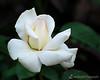 Caroline de Monaco (Hybrid Tea) 1993 - Colonial Park, Somerset, NJ