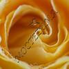 Tempting rose