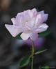 """Jennifer"" Rose 1985 - Colonial Park, Somerset NJ"