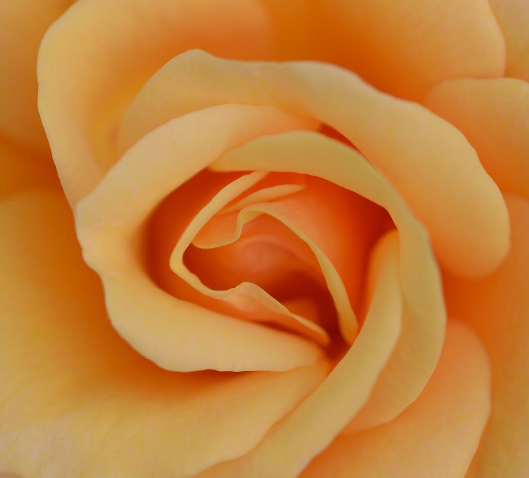 Closeup of peach rose