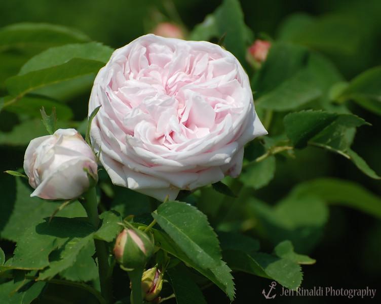 Caroline de Sansal (Hybrid Perpetual) 1849 - Colonial Park, Somerset, NJ