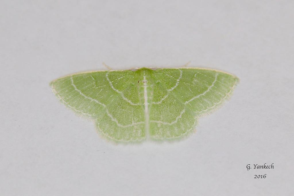 Wavy-lined Emerald, Synchlora aerata