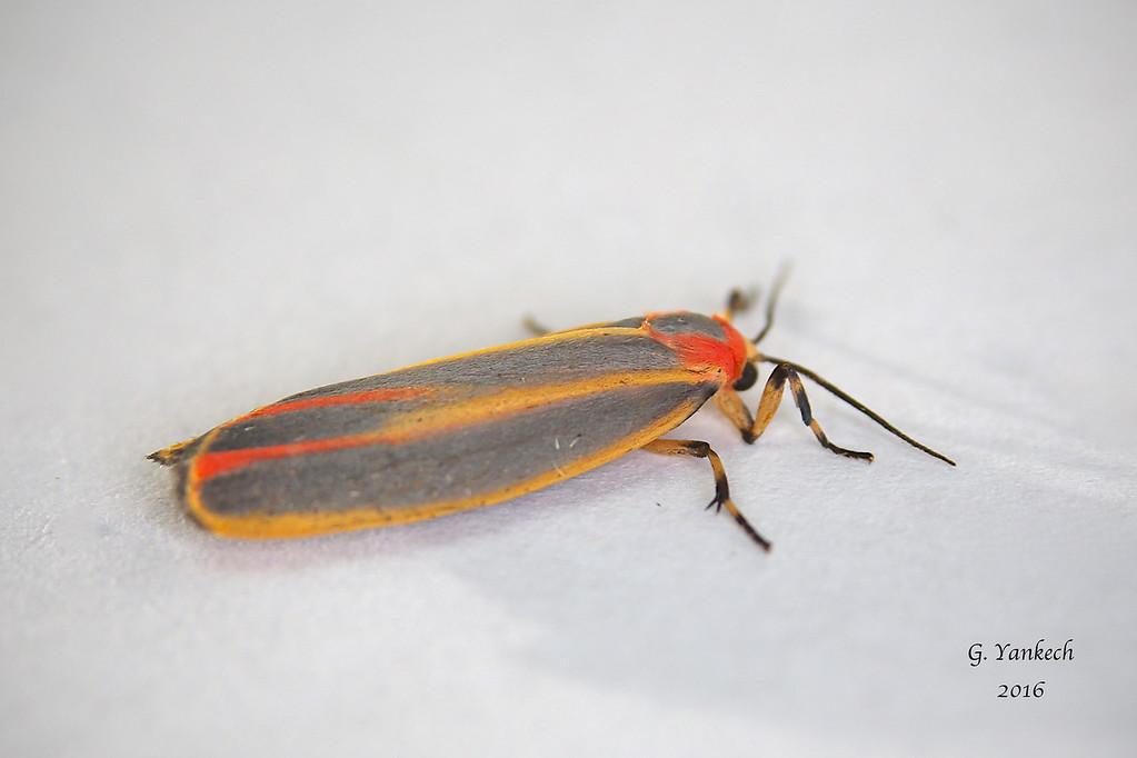 Painted Lichen Moth, Hypoprepia fucosa
