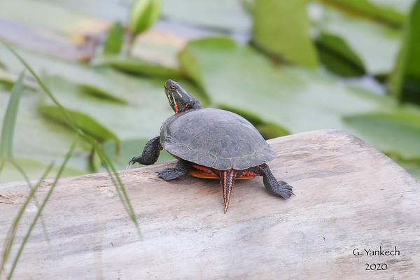 Midland Painted Turtle, Chrysemys picta ssp. marginata