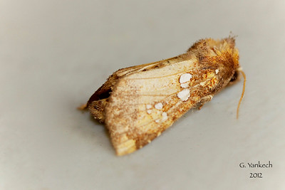 Ash Tip Borer,  Papaipema furcata, (Smith, 1899)  932468 – 9495