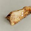 Ash Tip Borer,  Papaipema furcata, (Smith, 1899)<br /> <br /> 932468 – 9495
