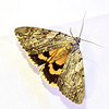 The Penitent Underwing, Catocala piatrix, Grote, 1864<br /> <br /> 930762 – 8771
