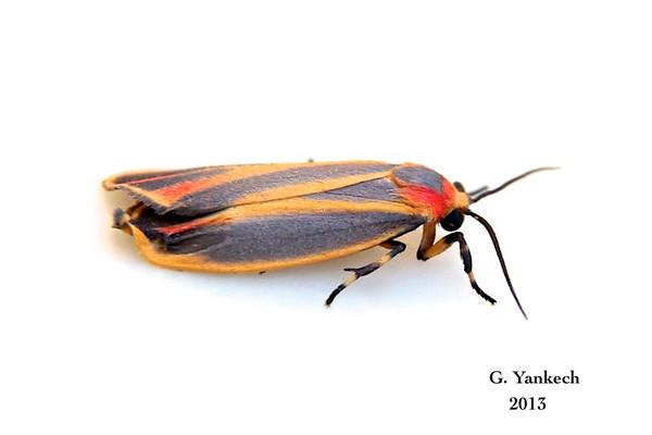 Painted Lichen Moth, Hypoprepia fucosa – Hübner, [1831]  (930205 – 8090)