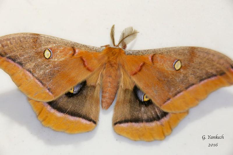 Polyphemus Moth, Antheraea polyphemus