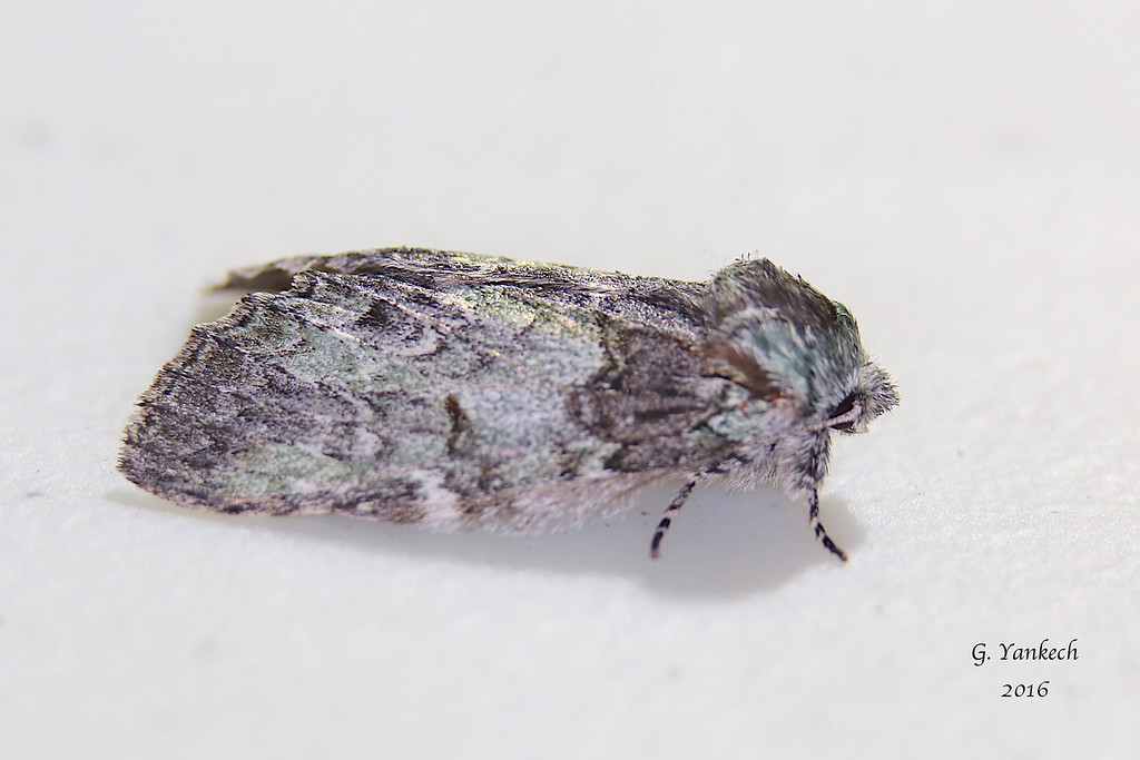 Mottled Prominent,  Macrurocampa marthesia