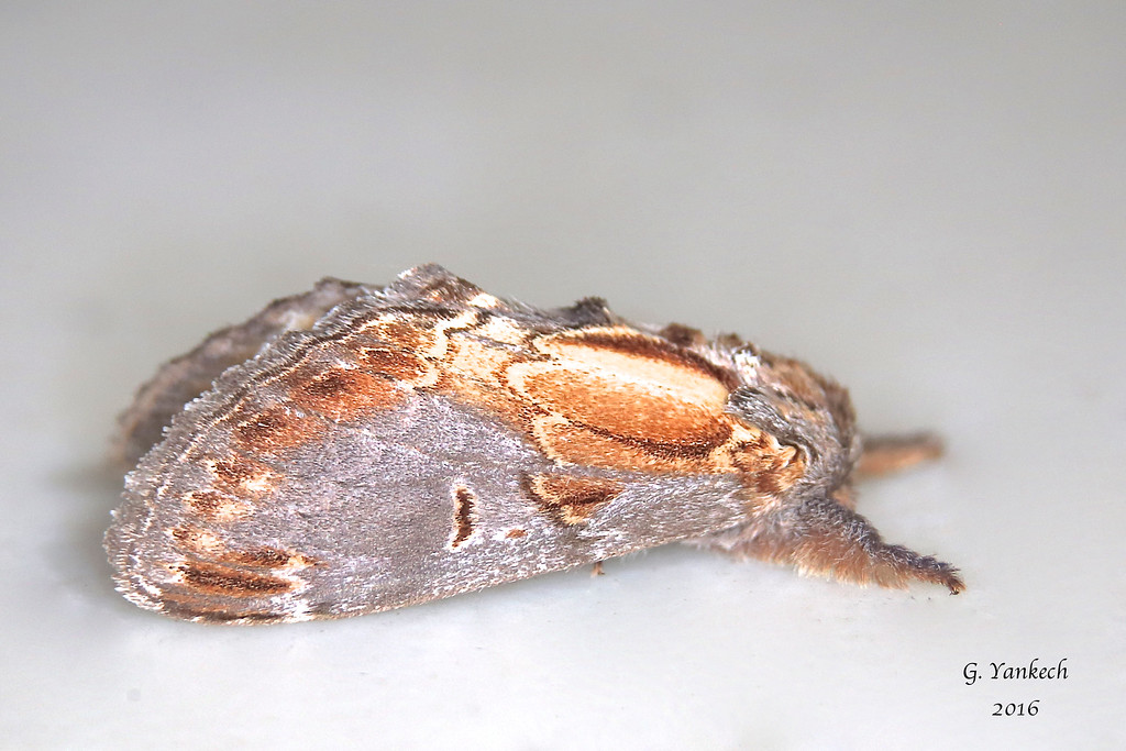 Finned-willow Prominent, Notodonta scitipennis