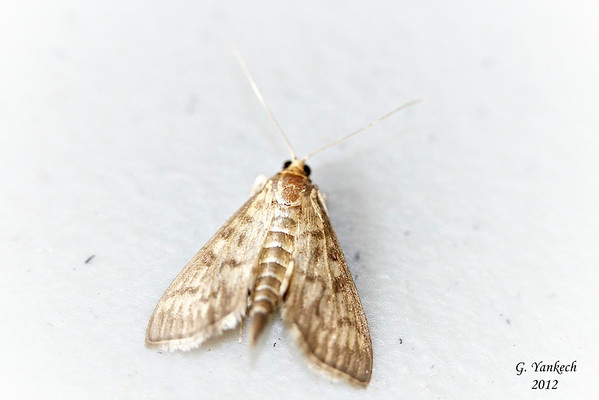Bold-feathered Grass Moth, Herpetogramma pertextalis<br /> <br /> identification confirmed by Paul Dennehy @ iNaturalist