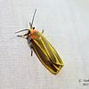 Painted Lichen Moth, Hypoprepia fucosa, Hübner, [1831]<br /> <br /> 930205 – 8090