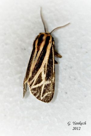 Harnessed Tiger Moth ,  Apantesis phalerata – Harris, 1841<br /> <br /> (930278 – 8169 )