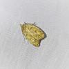Gold-striped Leaftier,  Machimia tentoriferella,  (Clemens, 1860)<br /> <br /> 027375 – 0951