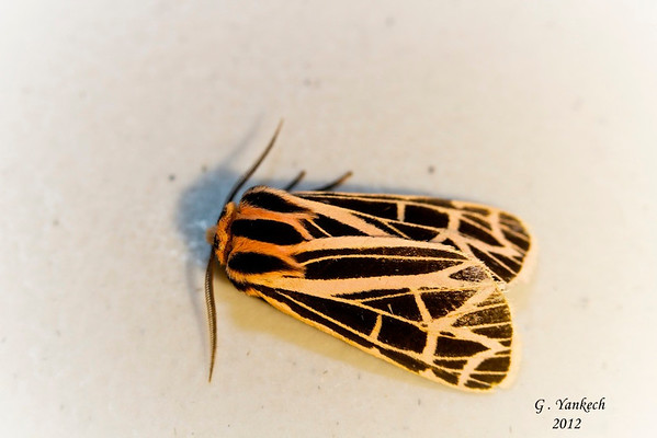 Partenice Tiger Moth, Grammia parthenice, (Kirby, 1837)<br /> <br /> 930246 – 8196