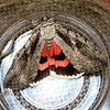 The Sweetheart Underwing, Catocala amatrix,  (Hübner, [1813])<br />  <br /> 930815 – 8834