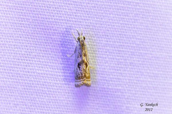 Elegant Grass-veneer, Microcrambus elegans, (Clemens, 1860)<br /> <br /> 161500 – 5420