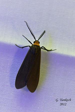 Yellow-collared Scape Moth, Cisseps fulvicollis, (Hübner, [1818])<br /> <br /> 930440 – 8267