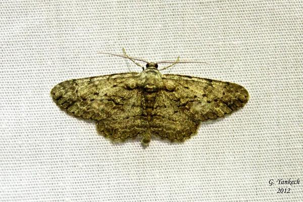 Common Gray, Anavitrinella pampinaria, (Guenée, [1858])<br /> <br /> 194925 – 6590