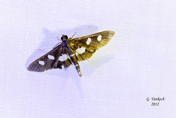 """Desmia maculalis/funeralis<br /> <br /> Distinuguishing between D. maculalis and D. funeralis  requires:<br /> <br /> 1. a dorsal photo that clearly shows the antennae or the spot on the hindwing so the moth can be sexed.<br /> <br /> 2. a ventral photo clearly showing the markings on the abdomen. The moth does not have to be killed or chilled to get a photo of the underside. A jar with flat sides works great for this purpose and also makes it easy to get accurate measurements. <br /> 3. an accurate measurement of the wingspan. <br /> <br /> D. funeralis individuals have a solid white patch on the underside of the abdomen <br /> D. maculalis individuals have a broken white patch, where about 1/2 of segments 3 and 4 are clearly dark. Basically, maculalis looks striped on the underside, whereas funeralis looks like it is basically solid white<br /> <br /> see Identification... <a href=""""http://bugguide.net/node/view/49556"""">http://bugguide.net/node/view/49556</a>"""