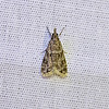 Striped Eudonia, Eudonia strigalis, (Dyar, 1906)<br /> <br /> 143025 – 4738