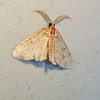 Undetermined species, probably unidentifiable moth