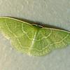 Wavy-lined Emerald, Synchlora aerata, (Fabricius, 1798)<br /> <br /> 207400 – 7058