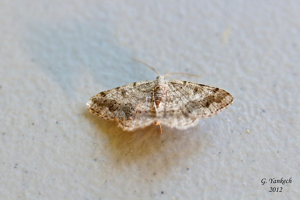 Faint-spotted Angle, Digrammia ocellinata, (Guenée, [1858])<br /> <br /> 189525 – 6386
