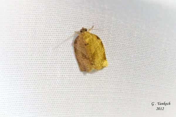 Obilque-banded Leafroller, Choristoneura rosaceana, (Harris, 1841)<br /> <br /> 111225 – 3635