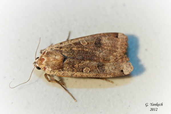 Large Yellow Underwing, Noctua pronuba, (Linnaeus, 1758)<br /> <br /> 933551 – 11003.1